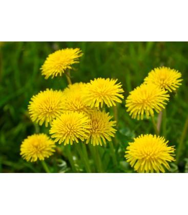 Púpava Lekárska - Kvet