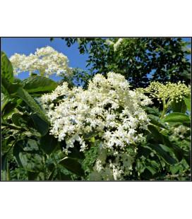 Báza Čierna - Kvet